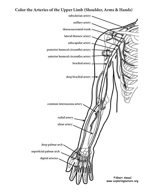 anatomy coloring book pdf free