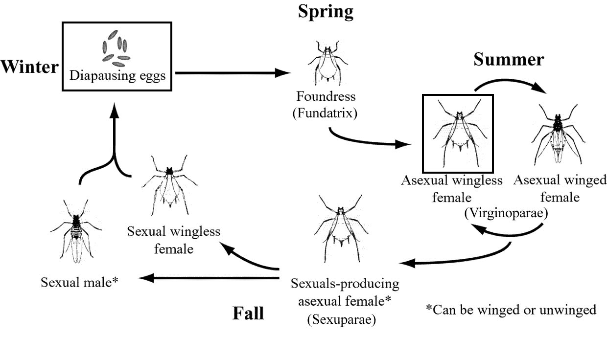 aphids life cycle pdf